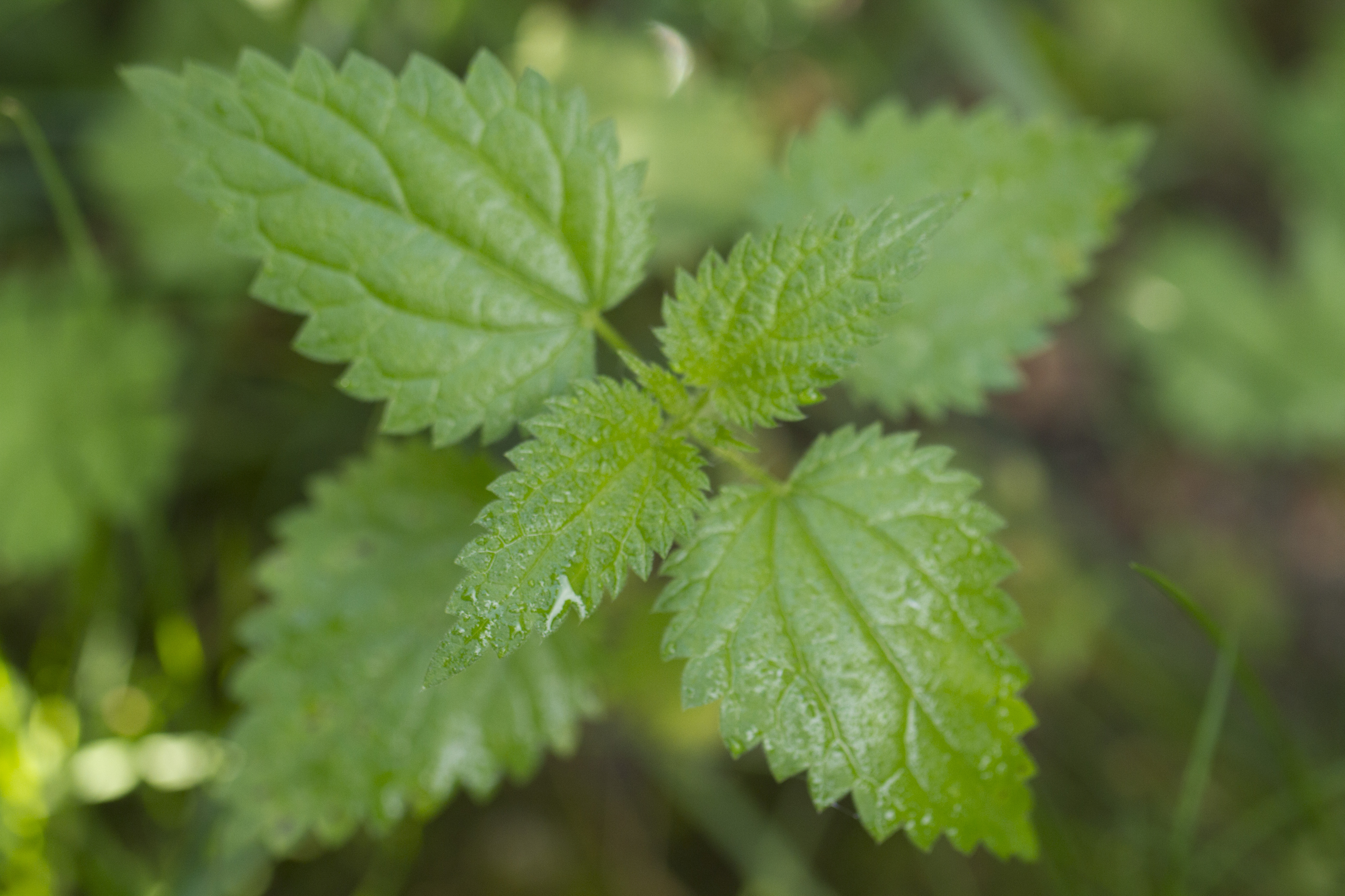 3 bienfaits de l 39 ortie for Plante 5 feuilles